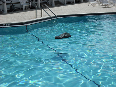 Alligator head in the pool