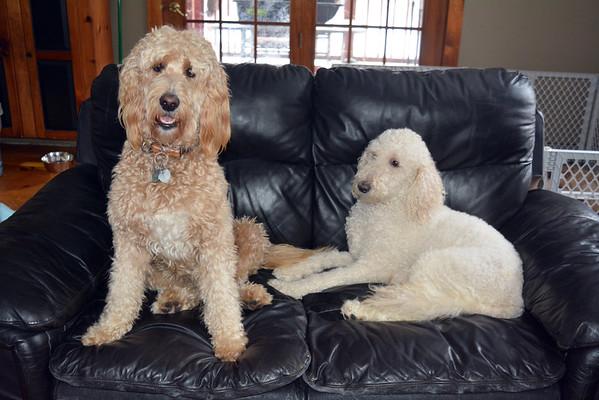 King puppies