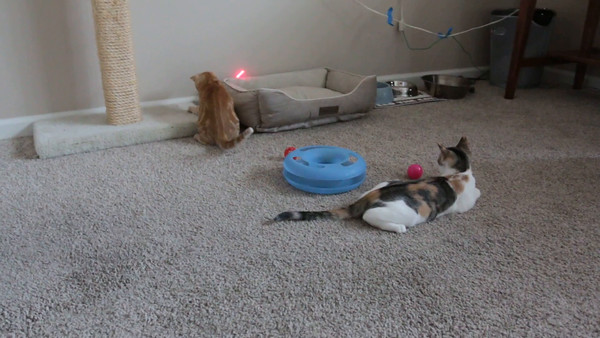 Kittens with Laser Toy