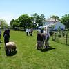 Walking a sheep and a Llama