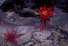 FM-1998-075a pencil urchin
