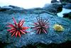 FM-1998-079a pencil urchins Kona