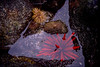 FM-1998-069a pencil urchin