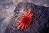 FM-1998-071a sea urchin