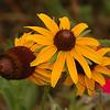 Black-eyed Susan wild flowers.