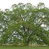 This pecan tree is about 75 years old and during good years, it produces huge amounts of native pecans -- very small, but very tasty.