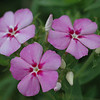 Phlox, which is growing profusely around the vegetable gardens at the farm.