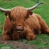 IMG_5314 Highland cow edit