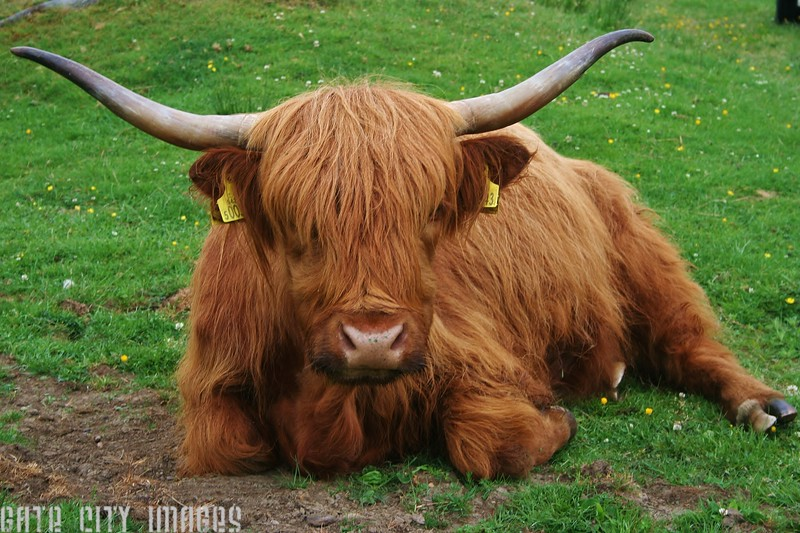 IMG_5315 highland cow edit