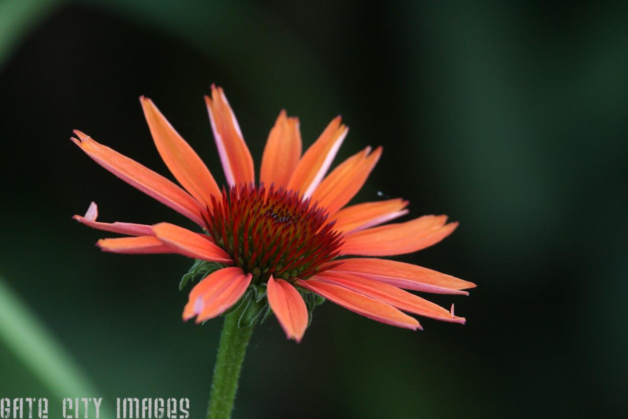IMG4_19137 pink flower dppa