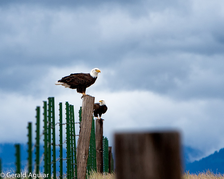 We saw these two eagles sitting on fence posts while driving on Road 60 north of Alturas.