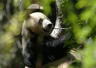 The famous panda Goa-Goa.