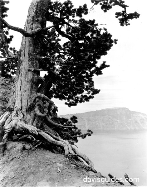 Twisted old tree trunk on the rim near Pumice Road, Crater Lake National Park, 1938.
