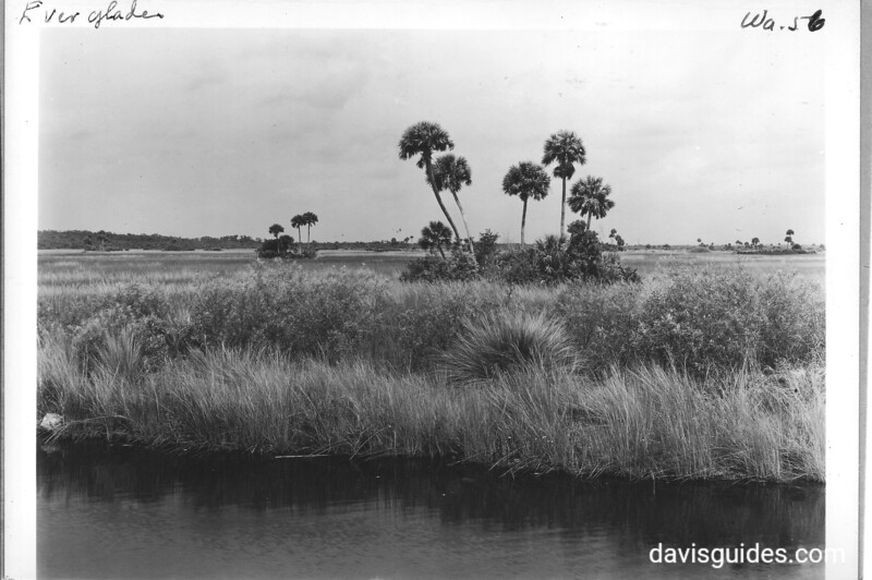 This palm near Ochopee, Florida, is the cabbage palmetto or cabbage palm. Planned Everglades National Park, 1937.