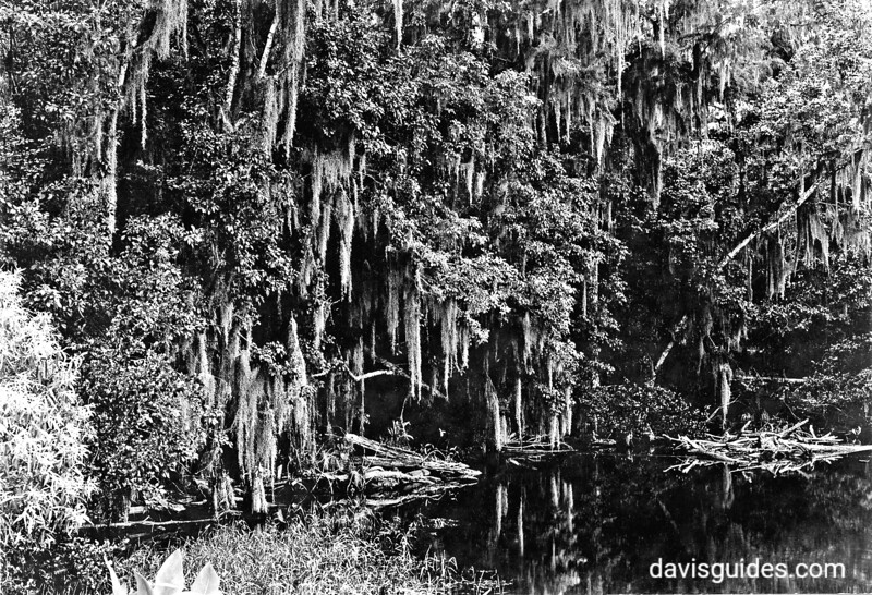 A lagoon in the Everglades with Spanish Moss, planned Everglades National Park, 1937.