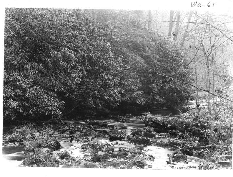 Rhododendron along Deep Creek. Planned Great Smoky Mountains National Park, 1931.