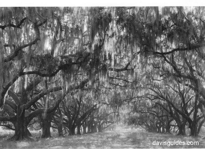 Live oaks in front of De La Ronde Ruins, 2 miles south of Chalmette Battlefield. Chalmette National Monument (now Jean Lafitte National Historical Park and Preserve), 1934.
