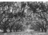Live oaks in front of De La Ronde Ruins, 2 miles south of Chalmette Battlefield. Chalmette National Monument (now Jean Lafitte National Historical Park and Preserve), 1934.