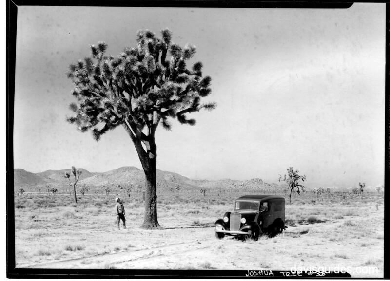 Large Johsua Tree. Grant's panel truck is to right of the tree. Joshua Tree National Park, undated.