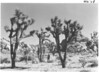Joshua Trees in Lost Horse Valley, Joshua Tree National Park, 1936.