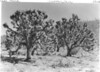 Joshua Trees on Duncan (Diamond Bar) Ranch at the head of Lost Basin. Lake Mead National Recreation Area, 1937.