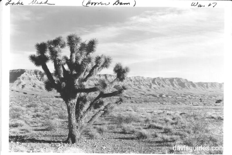 Joshua Tree near Grand Wash Cliffs in Lost Basin. Lake Mead National Recreation Area, 1937