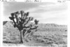 Joshua Tree near Grand Wash Cliffs in Lost Basin. Lake Mead National Recreation Area, 1937