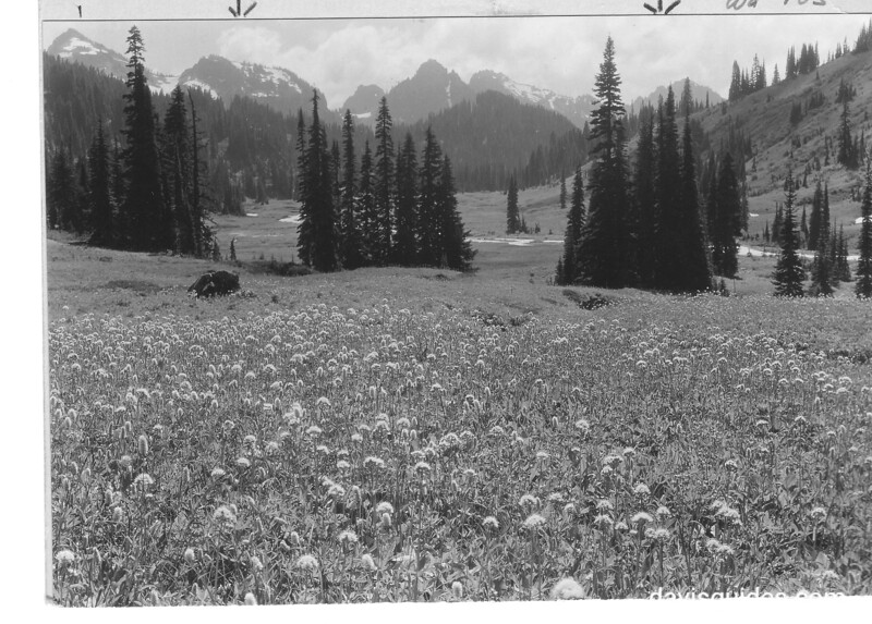 Wildflowers and Alpine fir in Paradise Valley, with Tatoosh Range in distance. Mount Rainier National Park, 1932.