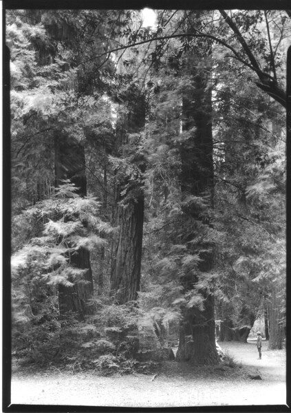 Trail leading through California Redwoods. Muir Woods National Monument, 1933.
