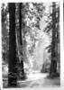Sun streaks in Muir Woods. Muir Woods National Monument, 1936.