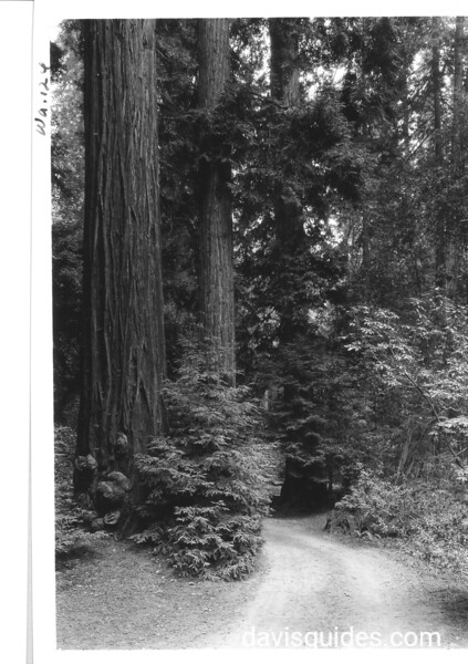 Coast Redwoods in Muir Woods. Muir Woods National Monument, 1936.