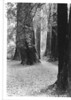Part of the trail through Muir Woods. Muir Woods National Monument, 1936.