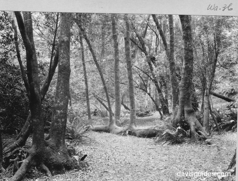 Bay trees common to Muir Woods. Muir Woods National Monument, 1933.