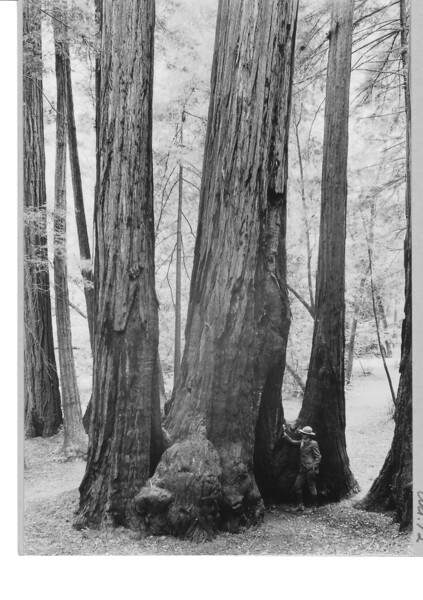 Barton Herschler, Custodian, standing by a burned out cavity in butt of a California Redwood. Muir Woods National Monument, 1933.