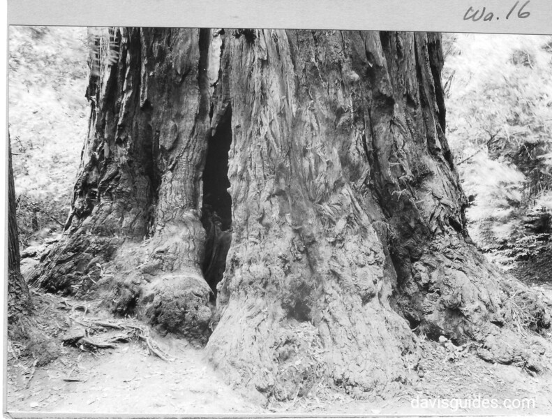 The foot, or butt, of the largest California Redwood in Muir Woods. Muir Woods National Monument, 1933.
