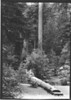 Ranger on log bridge across a creek. Muir Woods National Monument, 1936.