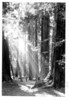 Hiker enjoying the sun streaks, Muir Woods National Monument, 1936.