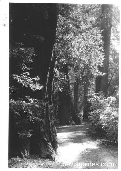 Trail through Coast Redwoods, Muir Woods National Monument, 1936.