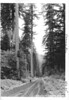 Large Douglas fir along highway south of Baker Lake. Future North Cascades National Park, 1937.