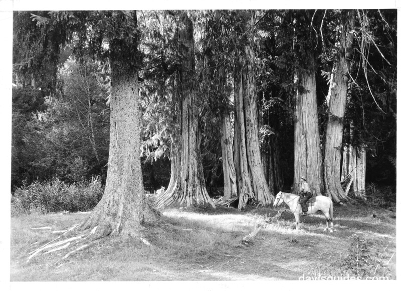 Park ranger on horseback beneath large spruce and cedar trees near the old Olympus Ranger Station. Proposed Olympic National Park, 1936.