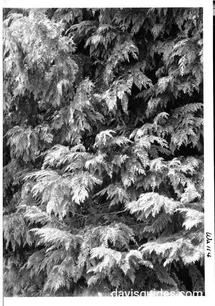 Foliage of Port Orford Cedar. Oregon Caves National Monument, 1941.