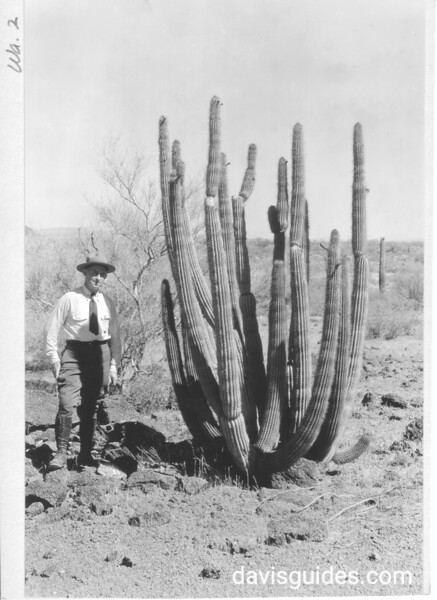 Organ pipe cactus in area west of Ajo Mountains. Ranger provides scale. Organ Pipe Cactus National Monument, 1935.