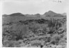 Typical cover of organ pipe cactus. Organ Pipe Cactus National Monument, 1935.