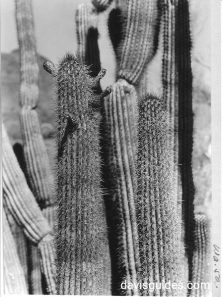 Close-up of cactus. Organ Pipe Cactus National Monument, 1935.