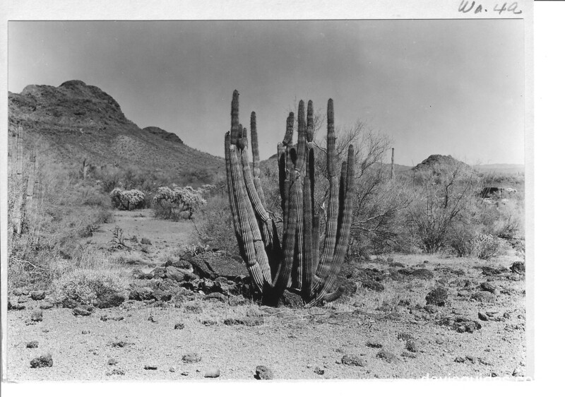 Organ pipe cactus growing west of Ajo Mountains in southern Arizona. Organ Pipe Cactus National Monument, 1935.