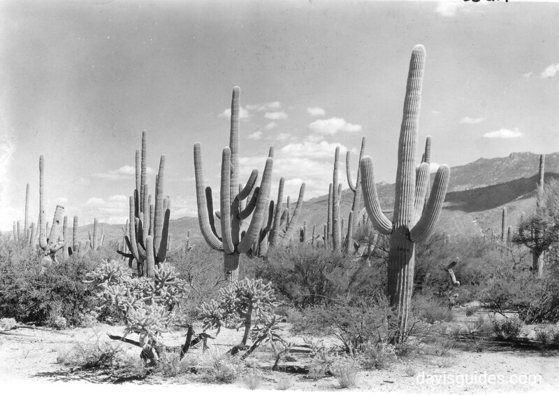 A fine stand of native giant saguaro Cactus 16 miles east of Tucson, Arizona. Saguaro National Park, 1935.