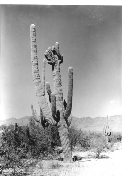 Sometimes the tops of the giant cactus take on queer forms. Saguaro National Park, 1935.