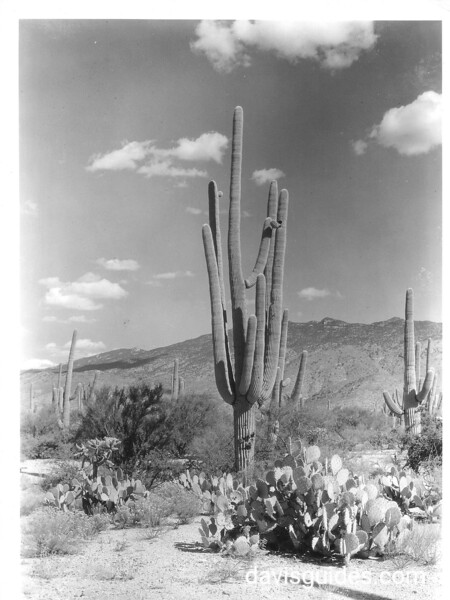 Examples of giant cactus.  Saguaro National Park, 1935.