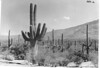 Giant cactus and other forms of native vegetation. Saguaro National Park, 1935.