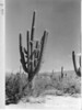 Large giant cactus. Saguaro National Park, 1935.